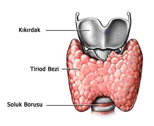 troid-anatomisi